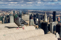 Empire State Building Pigeon